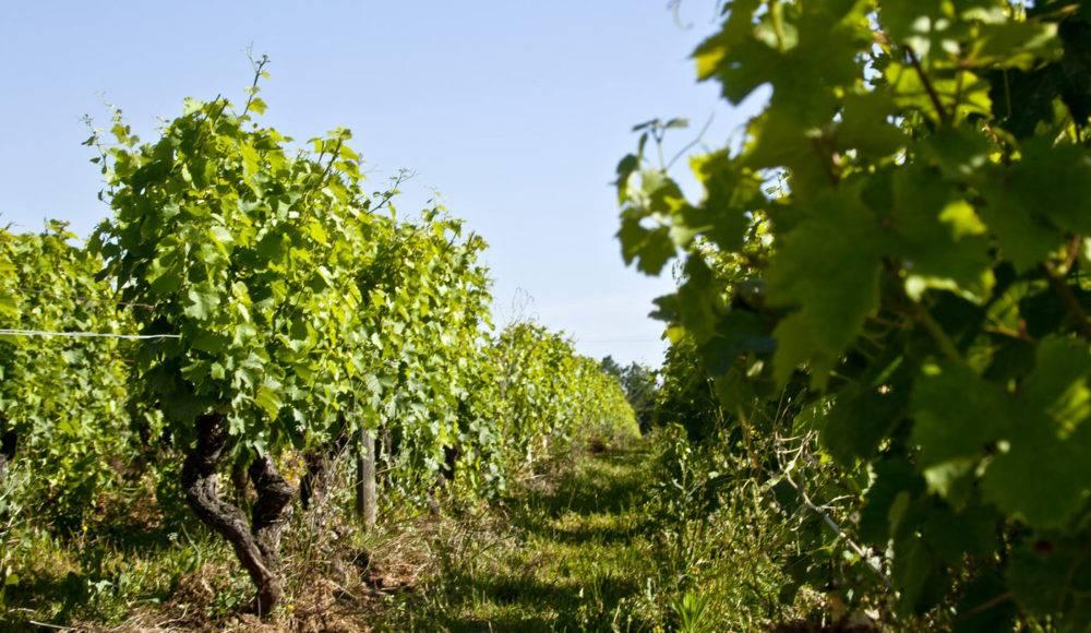Domaine du Petit Coteau - Vignes