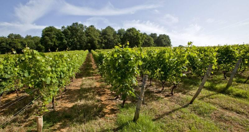 Vignoble Coudray Montpensier -Vignes