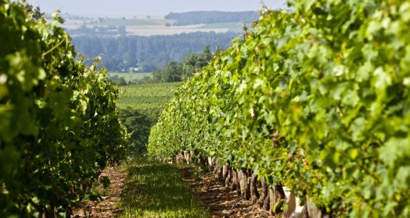 Vignoble Coudray Montpensier - Vignes