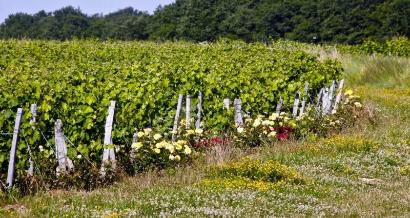 Domaine du Petit Coteau - Vignes et rosiers