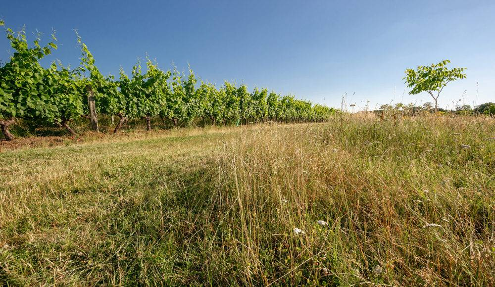 Domaine Maison - Vignes