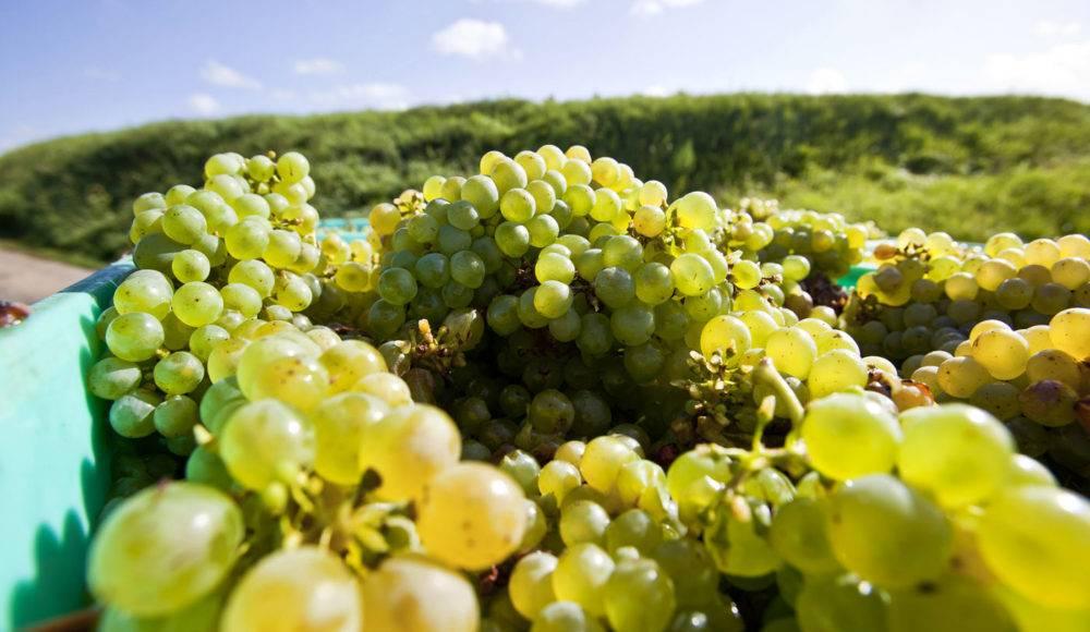 Vigne de Moncontour à Vouvray (37)
