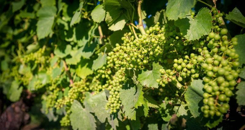 Domaine Maison - Vignes Jeunes grappes
